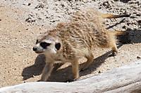 Meerkat01